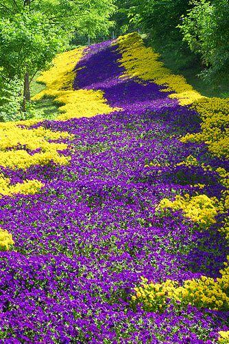 """Hornveilchen-Teppich (Viola cornuta) - Botanischer Garten in Augsburg, Deutschland - Sowas schönes zauberhaftes wie so einen """"Blumenweg"""" habe ich noch nicht gesehen. Wow... echt traumhaft! ❤"""