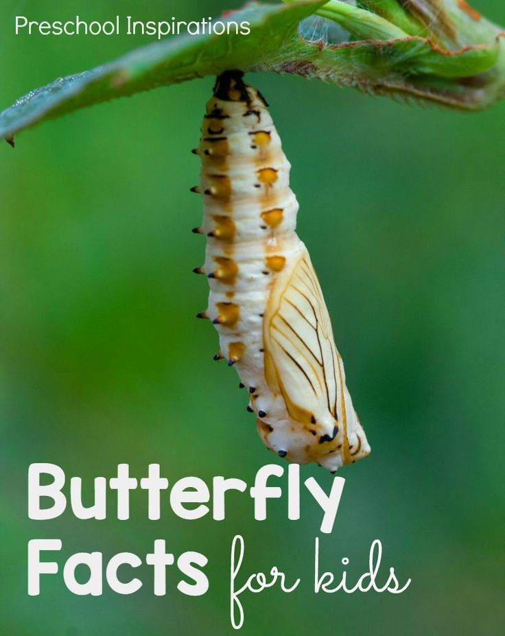 Fun butterfly facts to teach children about caterpillars and butterflies. Learn about the butterfly lifecycle, caterpillar facts, chrysalis facts, a butterfly's lifespan, how the butterfly tastes, and more! These facts are perfect for an insect or bug theme.