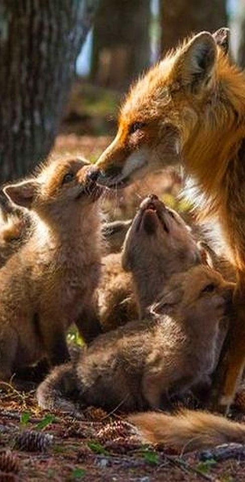 cute red foxes - mum and cubs #Photograph by  Kate M. #animal pet nature wilderness wildlife cute cub fox