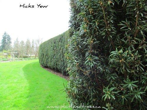 Hicksii Yew