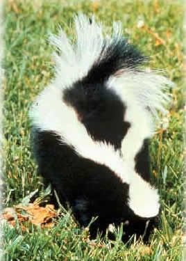 Skunk costume inspiration