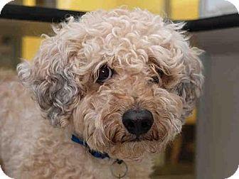 Denver, CO - Poodle (Miniature) Mix. Meet THEO, a dog for adoption. http://www.adoptapet.com/pet/18503396-denver-colorado-poodle-miniature-mix