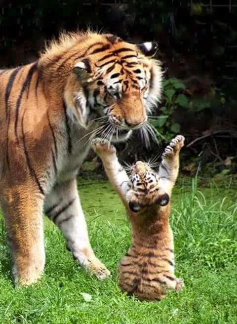 Tiger cub playing with mother – Photo