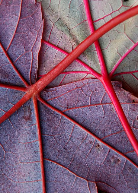 Here I have pinned a secondary Image of the viens in the leaf. I loved the colours in this image and the detail that came with it, I thought this would be really good inspiration for my design.