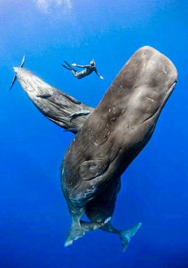 Sperm whale lung volume