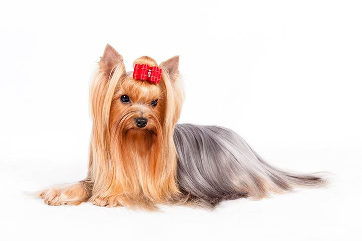 Yorkshire Terrier Dog Breed Information Pictures