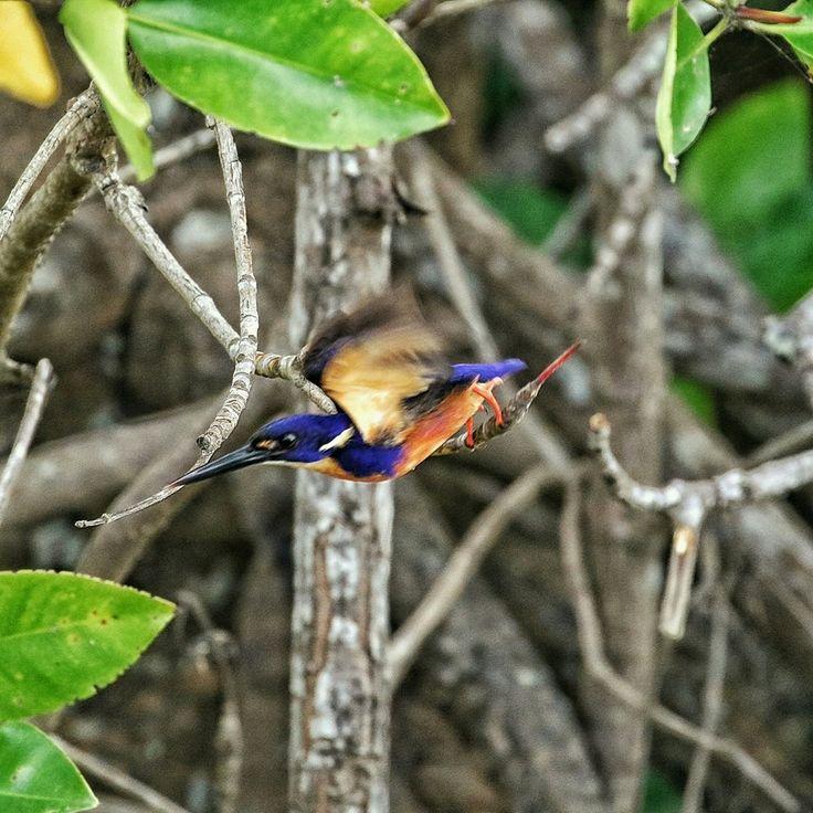 Azure Kingfisher capeyork australiantravel