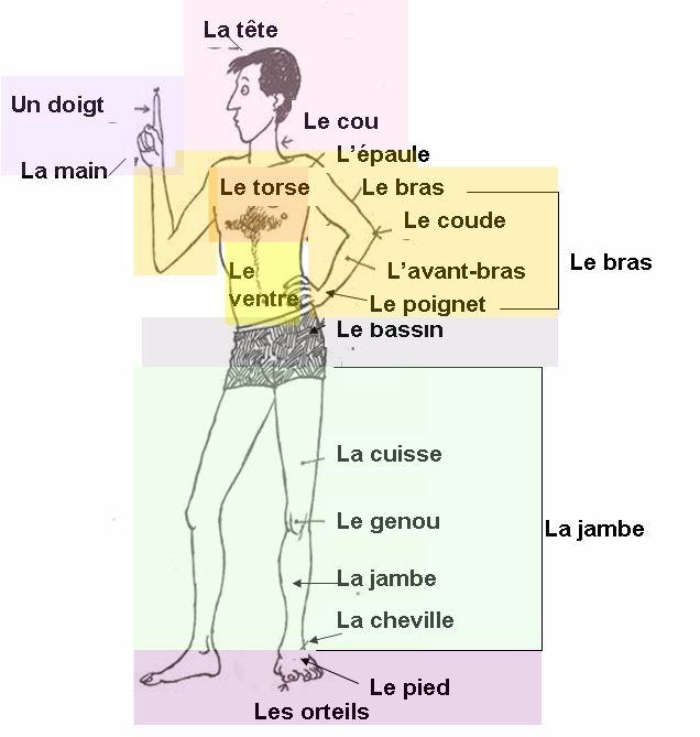 99 best images about fle lexique du corps on pinterest for Interieur du corps humain photo