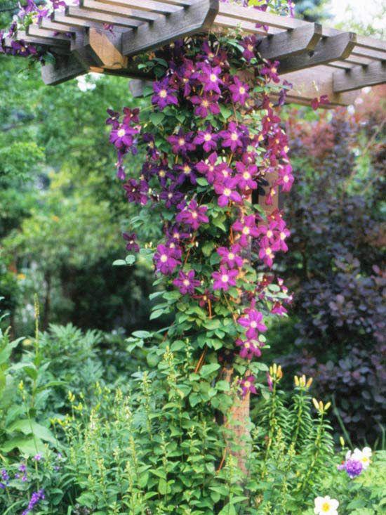 We love this gorgeous climbing clematis! More perennial vines for your garden: http://www.bhg.com/gardening/trees-shrubs-vines/vines/best-perennial-vines/?socsrc=bhgpin062613clemais=6