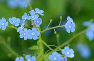 Bret's forget-me-not picture is now available as a desktop wallpaper from create.lds.org!
