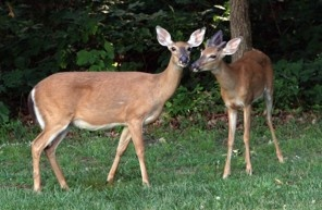 NPS plan to cull Rock Creek Park deer on hold pending federal court case, They are overpopulated and eating the native plants.   The Washington Post