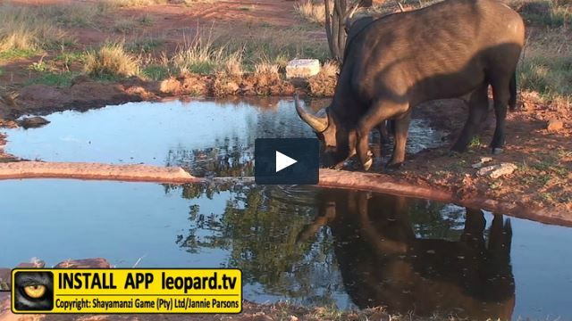 Start your week with Buffalo drinking water! #leopardtv #science #mondaymadness