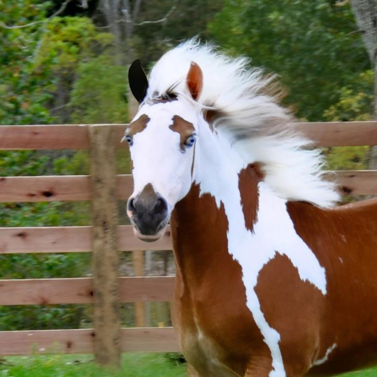 So pretty.Eye Makeup, Horses, Beautiful Hors, Colors Pattern, Painting Hors, Blue Eye, Pinto Hors, Eyebrows, Animal