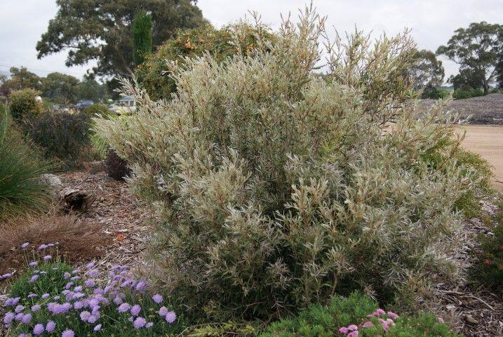 Callistemon Silver Cloud --- For more Australian native plants visit austraflora.com