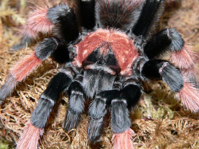 Pet tarantula on face - photo#19