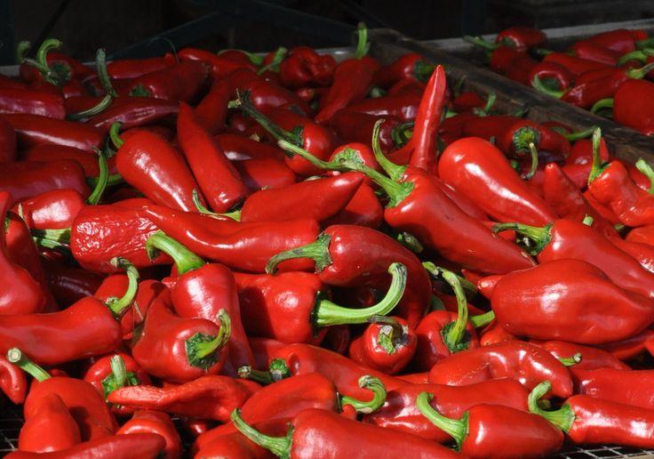Chilischoten der Sorte Gorria direkt nach der Ernte. Daraus wird später der berühmte baskische Chili (Piment d'Espelette) hergestellt.