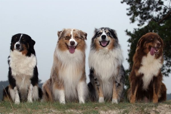 Australian Shepherds - Mur Dog smiling!