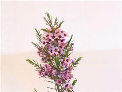 Chamelaucium 'Lady Stephanie' • Australian Native Plants • Plants •  800.701.6517   ****LOVE****