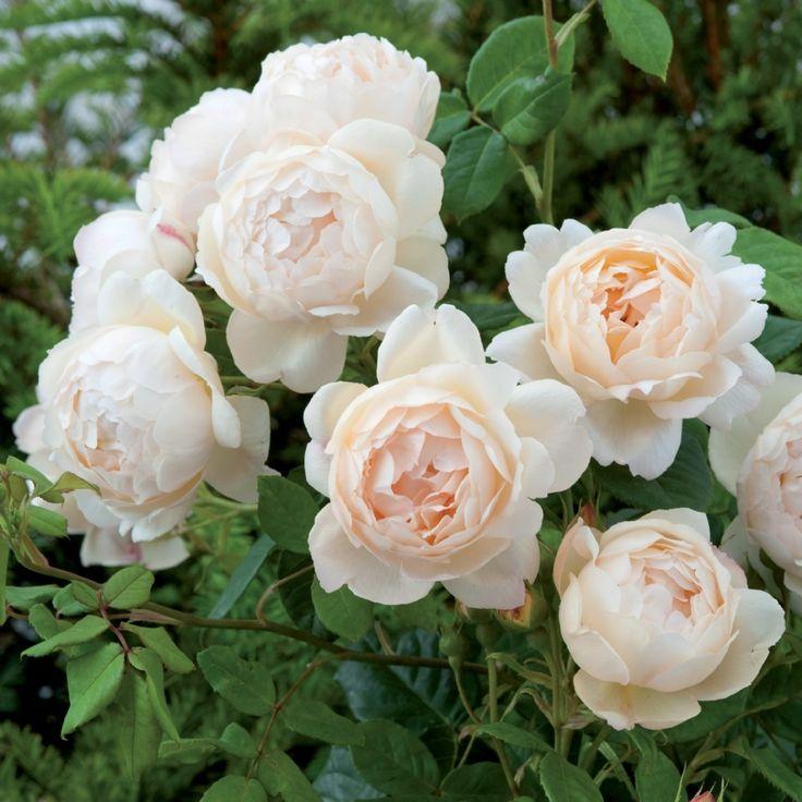 ウォラトン・オールド・ホール つるばら - Wollerton Old Hall Climbing (Ausblanket) イングリッシュローズの中でも最も香り高い品種のひとつで、はっきりとしたミルラの強香です。赤いストライプの入るふっくらとしたつぼみは、開くにつれてコクのあるバターイエローから、徐々にやわらかなクリーム色へと変化します。花が完全に開いても丸みのあるゴブレット型がくずれにくく、株元からたくさんのシュートが出て、丈夫によく茂ります。比較的まっすぐ伸び、トゲが少ないのも特長です。濃厚な香りを楽しみやすい場所に植えると良いでしょう。 ウォラトン・オールド・ホールとは、シュロップシャー州にある美しいプライベートガーデンで、16世紀の建物を囲むように、イングリッシュローズがたくさん植えられています。 1.5 x 1m  #つるばら #つるバラ #バラ #イングリッシュローズ #園芸 #ガーデニング #花