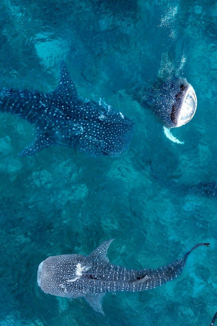 Whale sharks are one of my favorite marine species. They