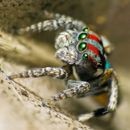 Flying Peacock Spider (Maratus volans) (O. Pickard-Cambridge 1874)   The 'Flying Peacock Spider', like all other Maratus spp., does not fly. The 'wings' are for courtship display. This Maratus is widespread throughout Australia, abundant on the coast of New South Wales at Ku-ring-gai Chase National Park near Sydney, Seal Rocks on the coast about 80 km NE of Newcastle, and Coolah Tops an inland site about 200 km NW of Newcastle. (photo/text: Robert Whyte)