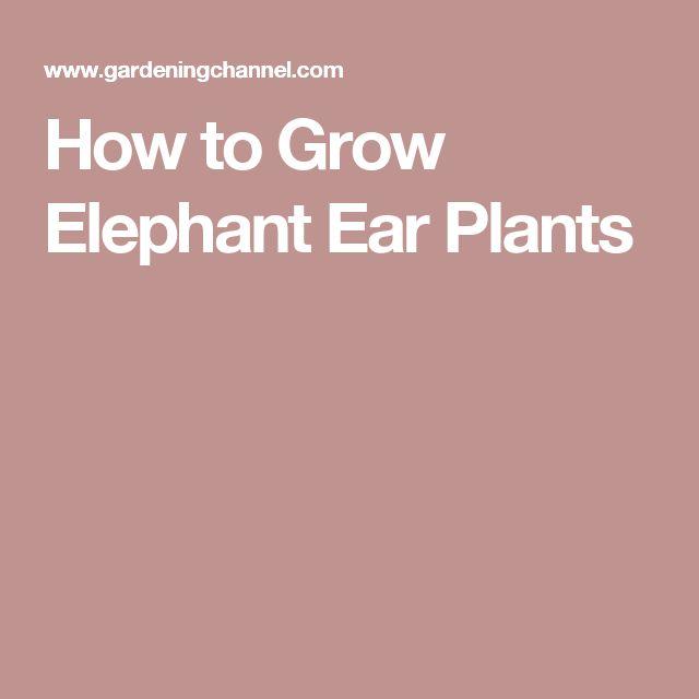 How to Grow Elephant Ear Plants
