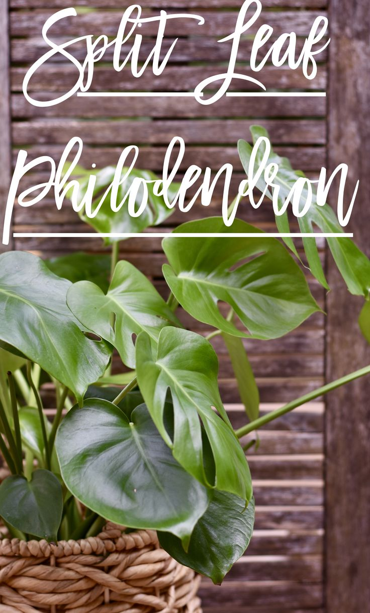 Easy guide for split leaf philodendron care