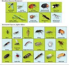 Insectos beneficiosos y otros menos beneficiosos para el huerto