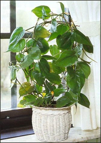 Latin Name: Philodendron scandens; Common Name: Heartleaf ...