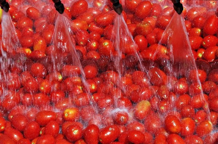 It's harvest time, and the 'quality approved' tomatoes take a swim in our pools before entering production lines. www.muttiparma.com.au
