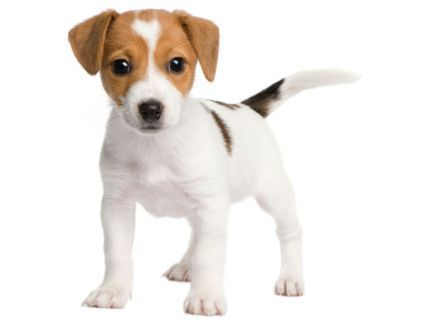 chiot_jack_russell.jpg
