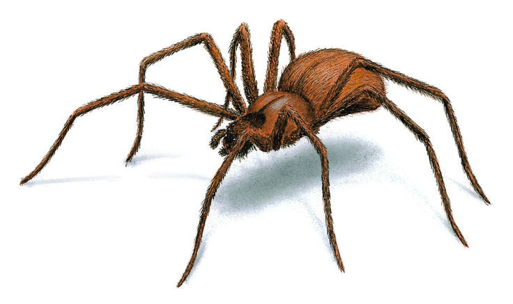 Brown Recluse Spiders: Facts, Identification, Behavior & Control