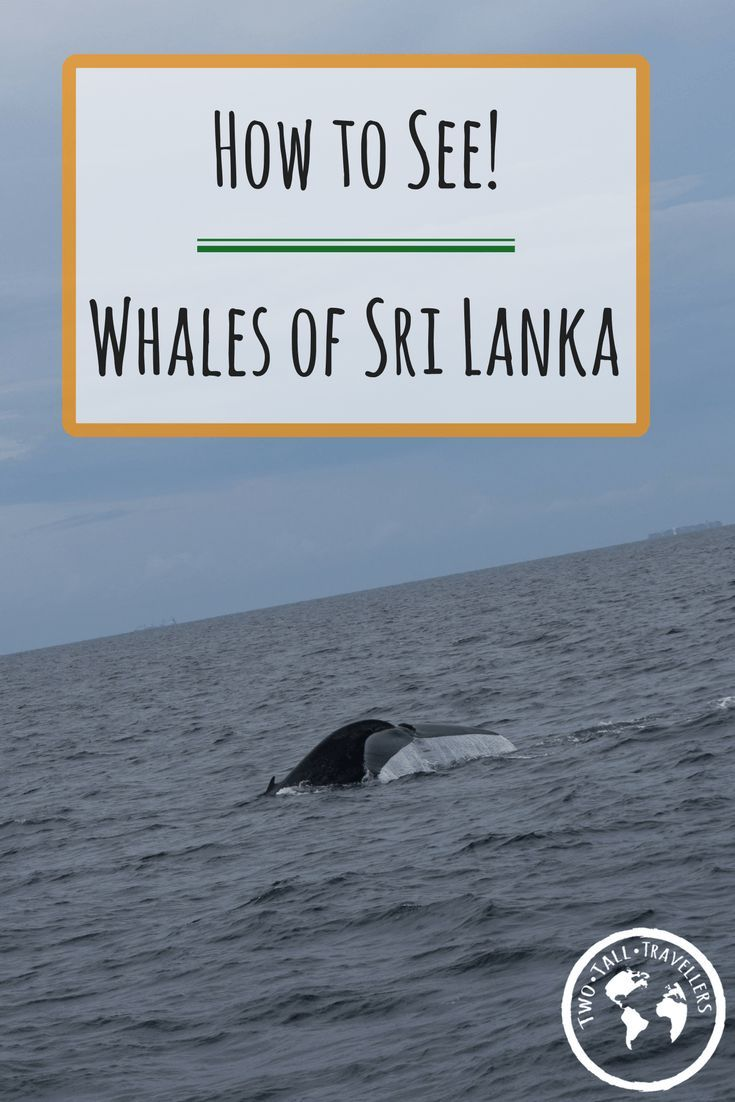 How to see the Whales of Sri
