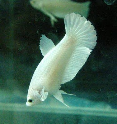 17 best images about betta fish on pinterest copper for How big can a betta fish get