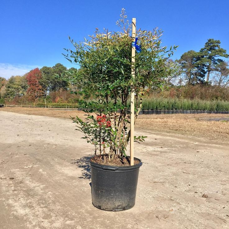 Nandina Domestica are a multi-season plant! They noted for their fall color, june blooms, showy fruit, and winter interest. #tankardnurseries #wholesale #nursery #grower #plants #nandina #broadleafevergreen