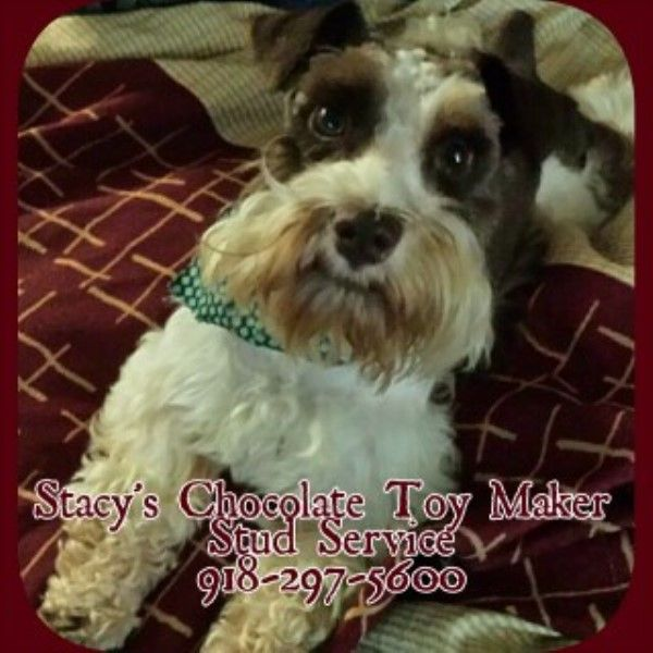 I have AKC Toy Chocolate Schnauzer Puppy litters with a White Chocolate female/total price is $1500 and a Chocolate Tuxedo male/...
