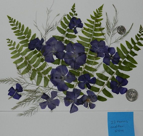 Real Dried and Pressed Flowers Over 25 Ferns by TickiesTreasures, $4.99