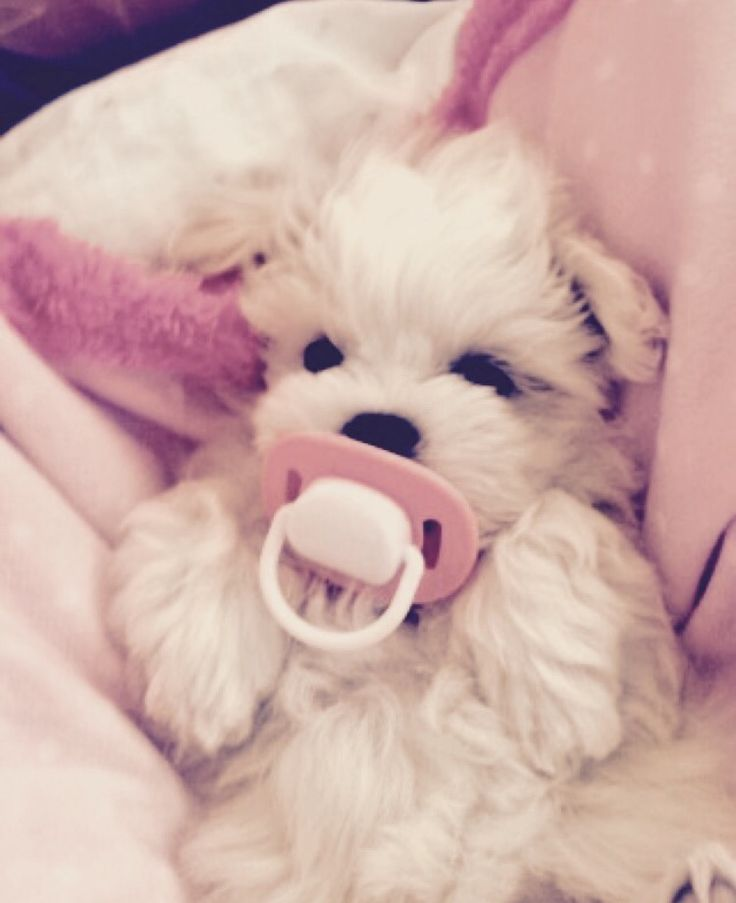 Baby Zoe☁️ #maltipoo #zoe #cute #baby #dog #puppy #pink #love #fluffy #1 #tbt