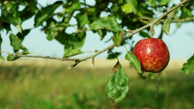 Недостаток питательных веществ может привести к скручиванию и сбросу листьев на яблоне