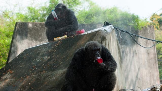 Thaise dierentuin koelt dieren met sproeiers en ijslollies | NU - Het laatste nieuws het eerst op NU.nl
