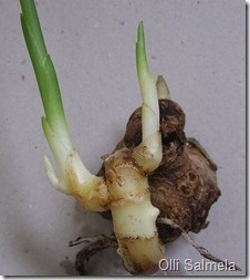 Did you know you can grow your own Ginger? Here's how...and it's easy!      Zingiber officinal by Olli Salmela