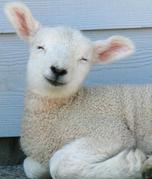 Baby Lamb. look at this lamb. that is a cute lamb