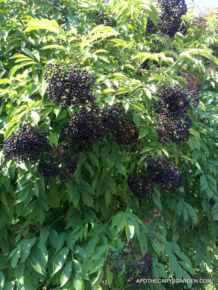 elderberry photos best 25 elderberry recipes ideas on pinterest 1967