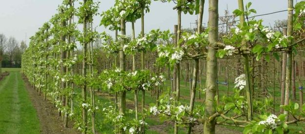 Van den Berk Nurseries | Topiary and espalier trees