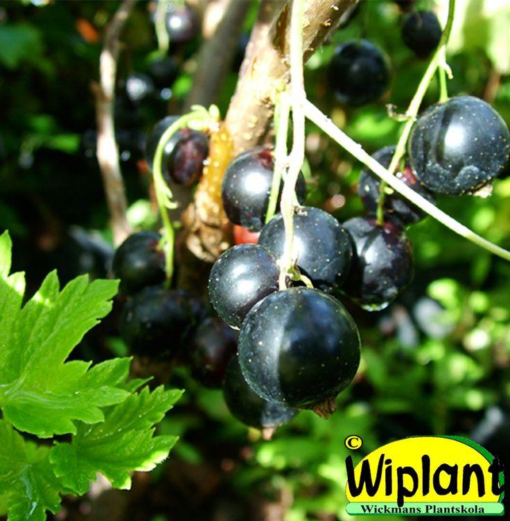 Ribes nigrum 'Polar', svarta vinbär. Stora bär, mognar jämnt. Mjäldaggsresistent. Bra för odlingar. Höjd:1,5 m.