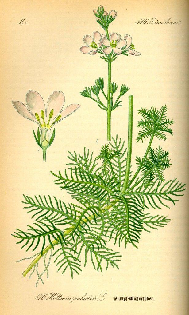 WATER VIOLET. Violeta de agua (Hottonia palustris) Soledad de los orgullosos. Distanciamiento por sentimiento de superioridad. GRUPO: Para los que sufren por soledad