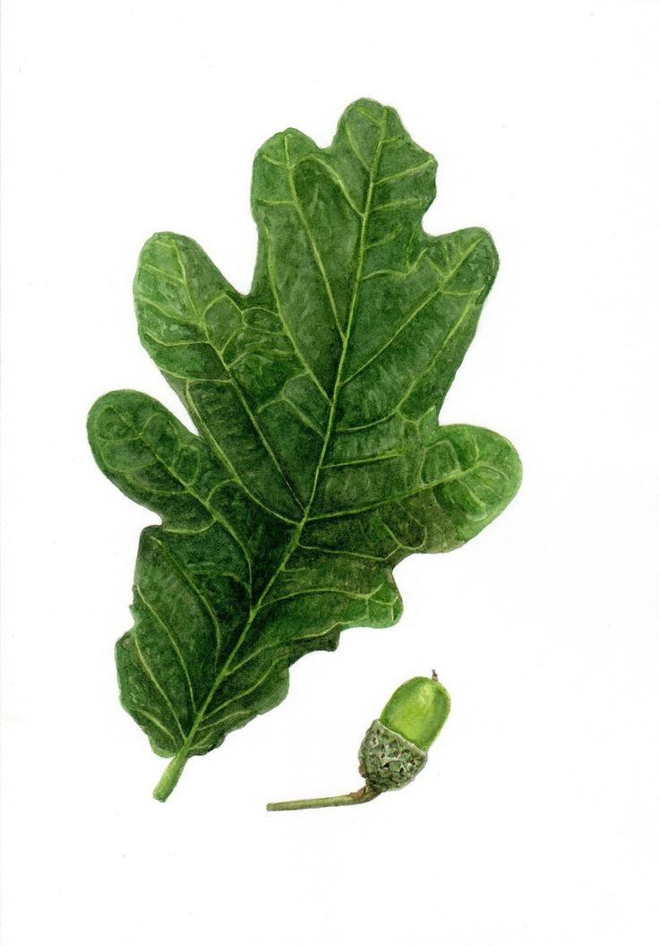 Willy Anderson: Eikenblad / Oak leaf