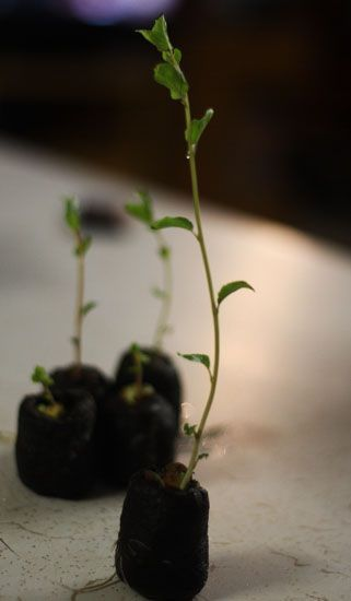 How to grow apricot trees from seed