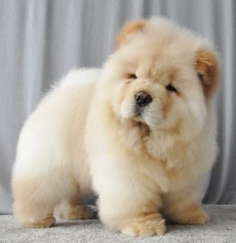 chow chow the cutest thing I'll ever see!