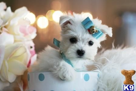 Maltese Puppy for Sale: FLORIDA-VISIT MY BEAUTIFUL WEBSITE....STUNNING MAL 8 Weeks old
